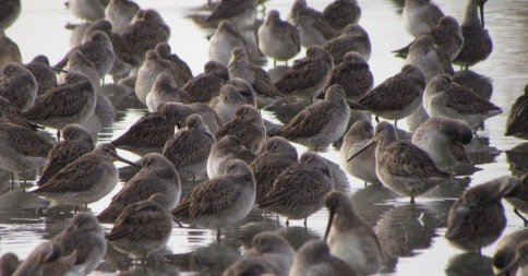 Juvenile Long-billed Dowitchers, Reifel Migratory Bird Sanctuary