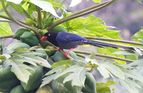Formosan Magpie – A Taiwan endemicPhoto: Jo Ann Mackenzie