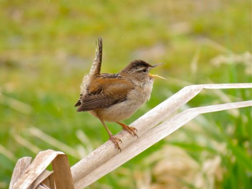 Marsh Wren – announcing BCFO AGM details. Photo: George Clulow