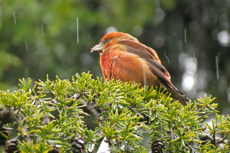 Red-Crossbill Photo: George Clulow