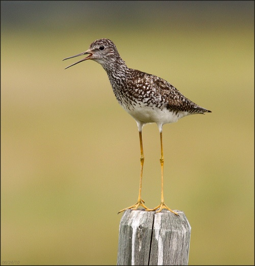 Lesser Yellowlegs on breeding territory, near Anahim Lake, Chilcotin.Photo: Carlo Giovanella