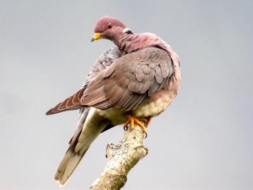 Band-tailed-pigeon