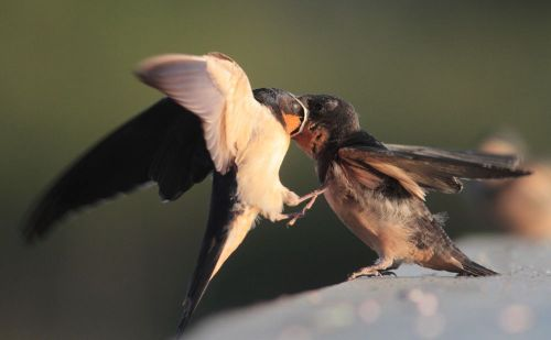 Barn Swallow feeding young Aug 19 2013 Wilband