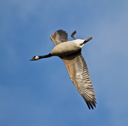 Canada Goose whiffling bcfo