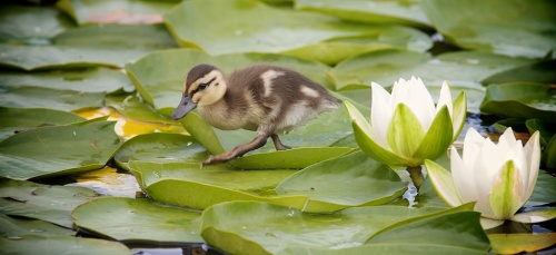 Mallard Duckling lily pads bcfo