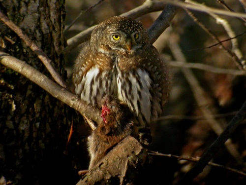 Northern-Pygmy-Owl-with-rat