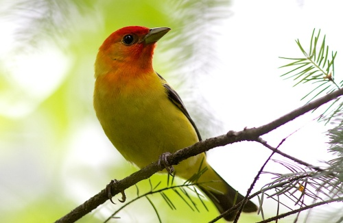 Western Tanager bcfo