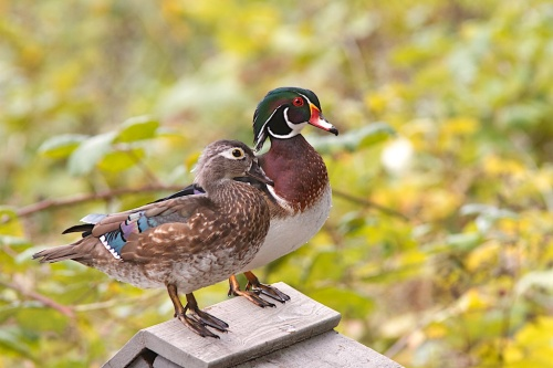 Wood Ducks pair Sept 20 2013 Reifel  001