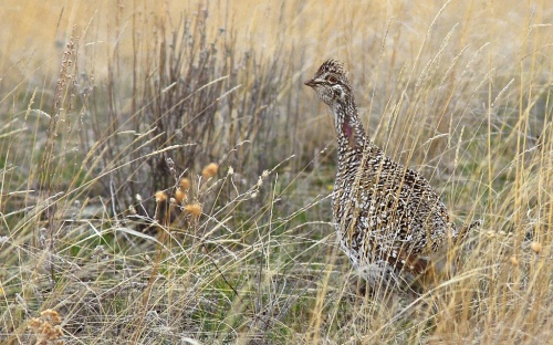 Sharp-tailed Grouse Jellicoe