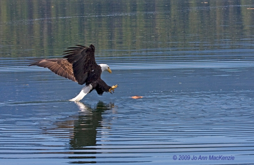 JAM Bald Eagle about to catch fish, outer Kanish Bay, May 29-09, re-resize, copyright IMG_0044