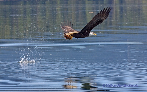 JAM Bald Eagle has caught a fish, Kanish Bay, May 29-09, resize, copyright IMG_0045