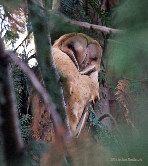 JAM Barn Owl1, Reifel, Nov. 2-08, ed.,IMG_0008 copy crop sh
