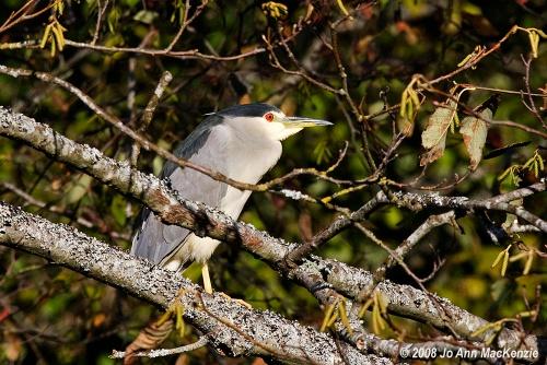 JAM Black-crowned Night-Heron, wide awake ad, Reifel, Oct 27-08.IMG_0188 copyright