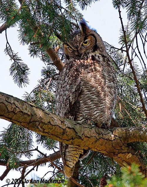 JAM Great Horned Owl, adult, Reifel Refuge, Apr. 28-08, IMG_0040 copyright