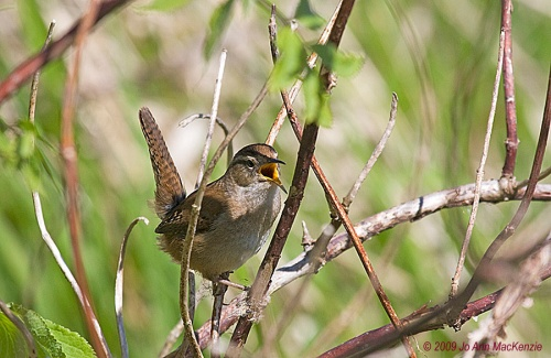 JAM Marsh Wren4, male singing, Ladner, Apr. 28-09, resize, sh.copyright IMG_0072
