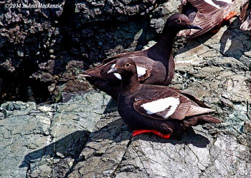 JAM Pigeon Guillemots, 2, on rocks, Aug. 9, 2011, resize.IMG_0035 copyright