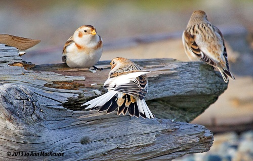 JAM Snow Buntings, Tsawwassen jetty, Nov. 22, 2013 resize copy.IMG_3180 copyright