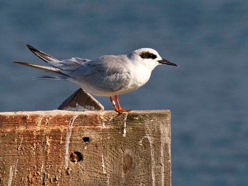 Forster's Tern – photo Kevin Cole
