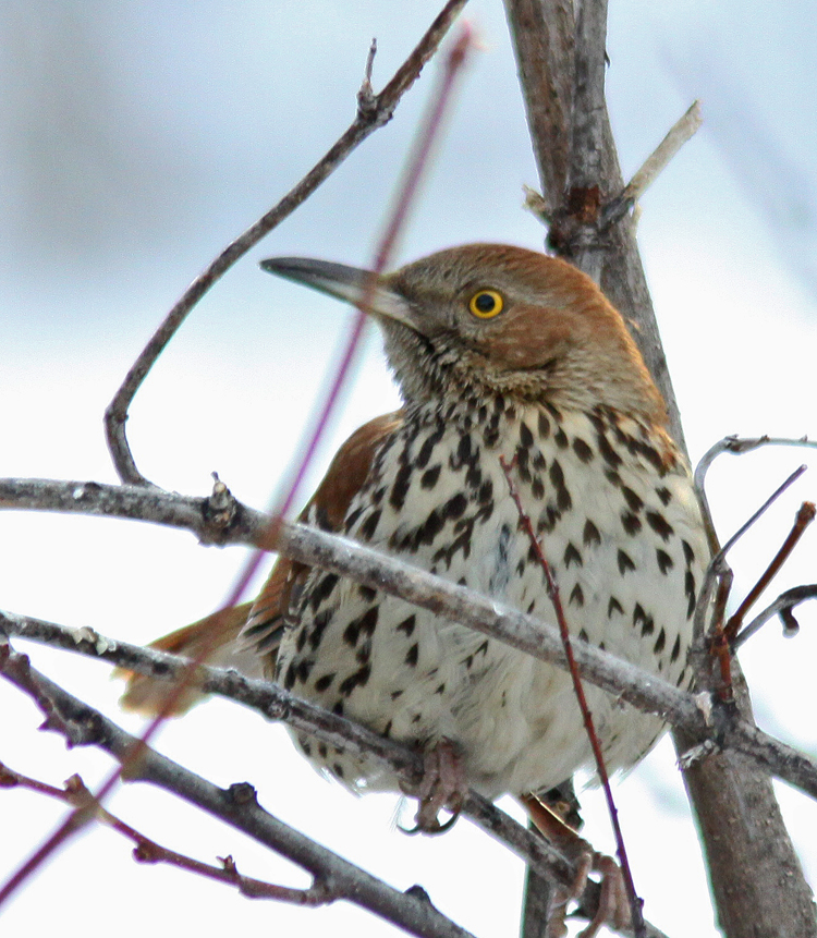 Brown-Thrasher-Cranbrook-Fe