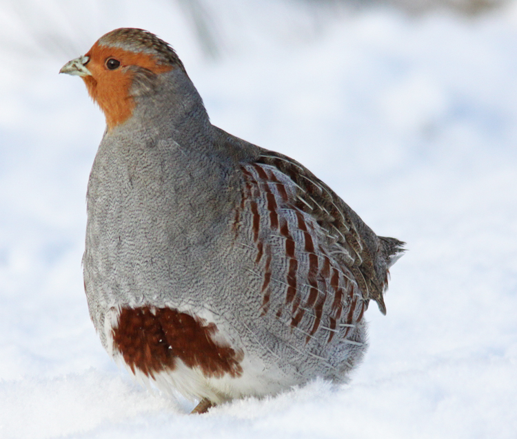 Grey-Partridge-along-Nighth