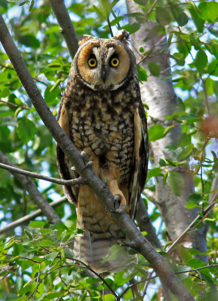 Long-eared-Owl-3-near-Rd.-2