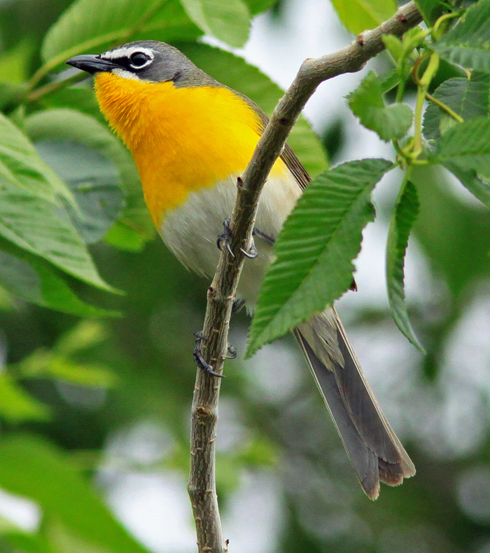 Yellow-breasted-Chat-1-Isla