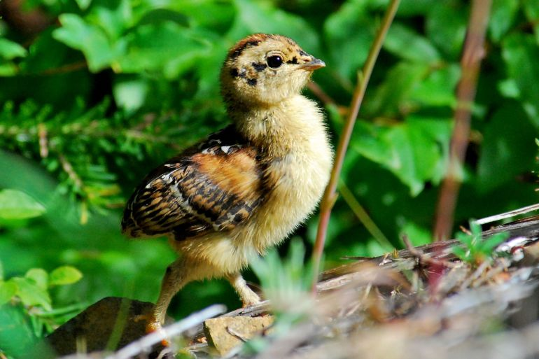 115-Spruce Grouse chick