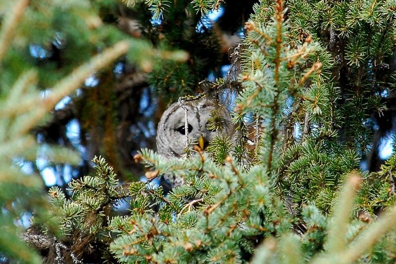 130-Barred Owl