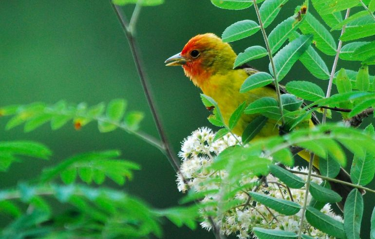 155-Western Tanager