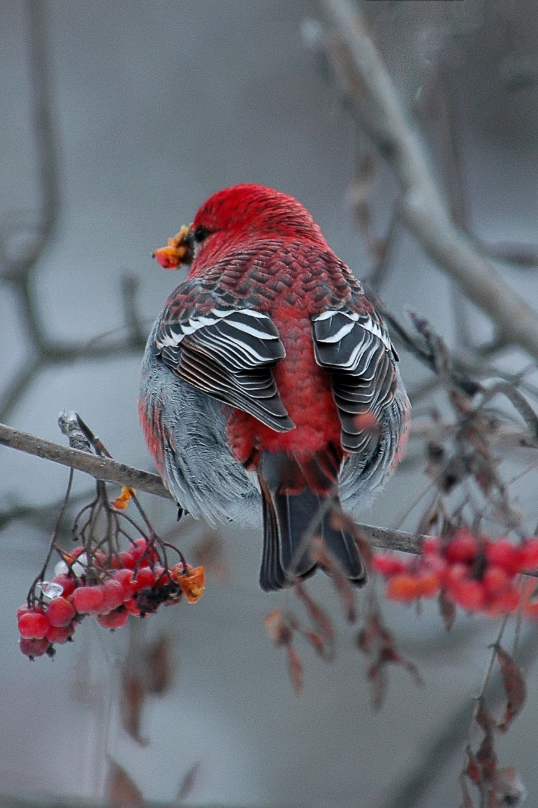 165-Pine Grosbeak