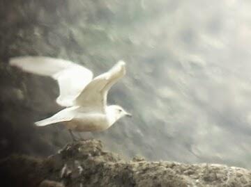 Iceland Gull. Kelowna, Mar 11. Ryan Tomlinson
