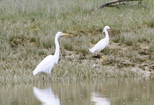 Snowy Egret with Great Egret, May 20 to 23, 2011, Tofino, BC (2)