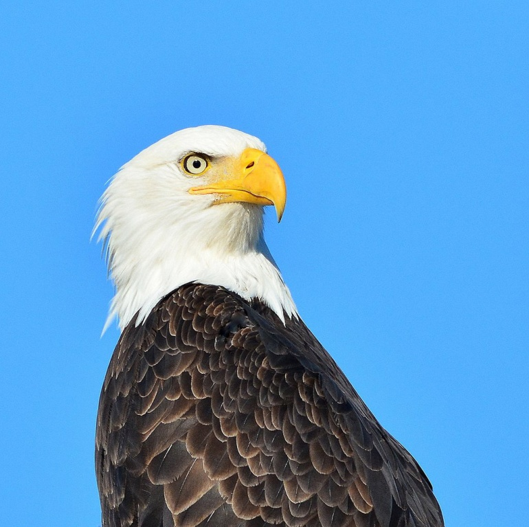 Stech Bald Eagle