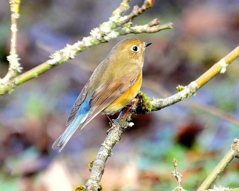 Stech Western Bluebird