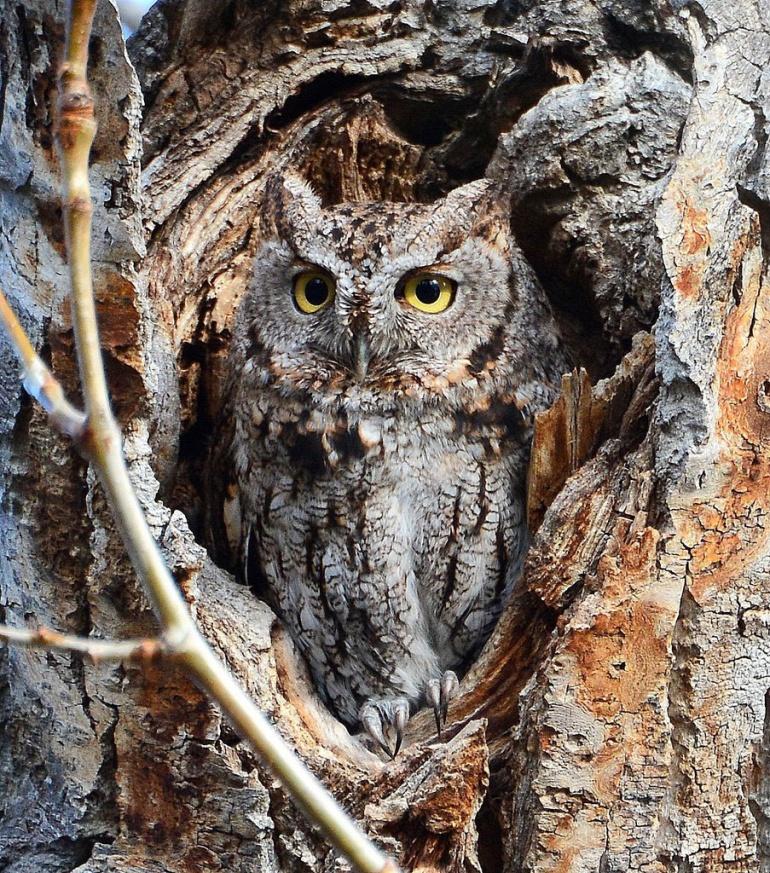 Stech Western Screech-Owl