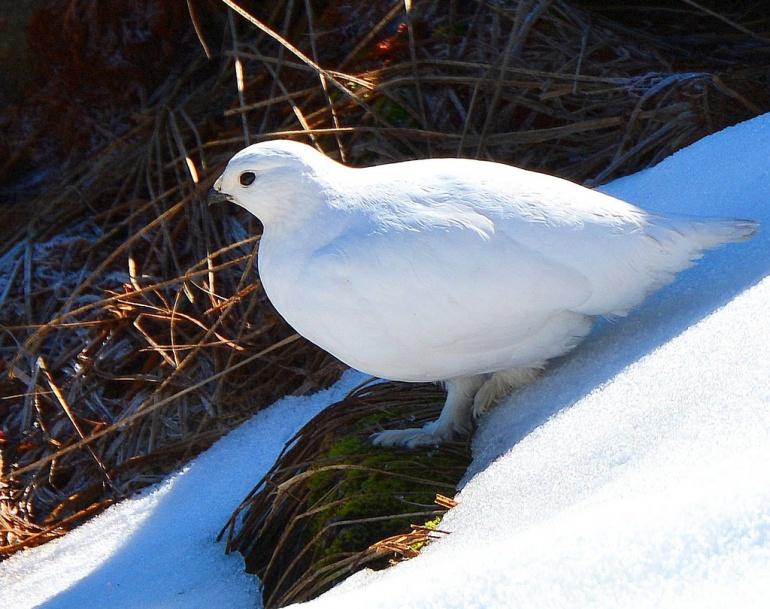 Stech White-tail Ptarmigan