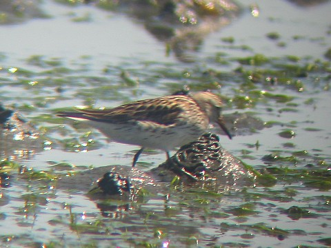 White-rumped Sandpiper - enlarged