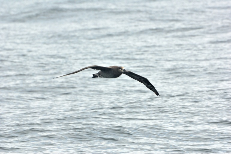 Black-footed Albatross, Phoebastria nigripes, in flight west of Kunghit Island, Queen Charlotte Islands, BC.