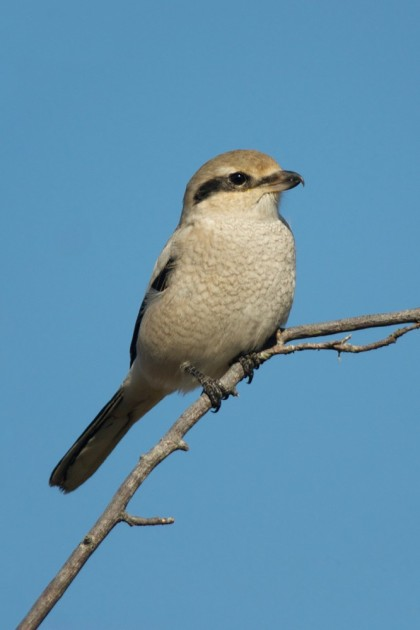 Northern Shrike, Lanius excubitor, immature, Nanaimo River Estuary, Cedar, BC.