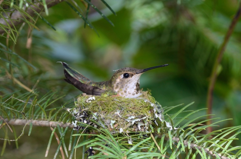 Rufous Hummingbird, Selasphorus rufus, female on nest one metre off the ground in a young Douglas-fir, Pseudotsuga menziesii, Banon Creek Forest Service Road at powerline crossing, near Ladysmith, BC.