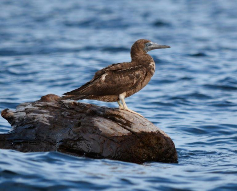 Brown Booby_Carlson_Sooke1