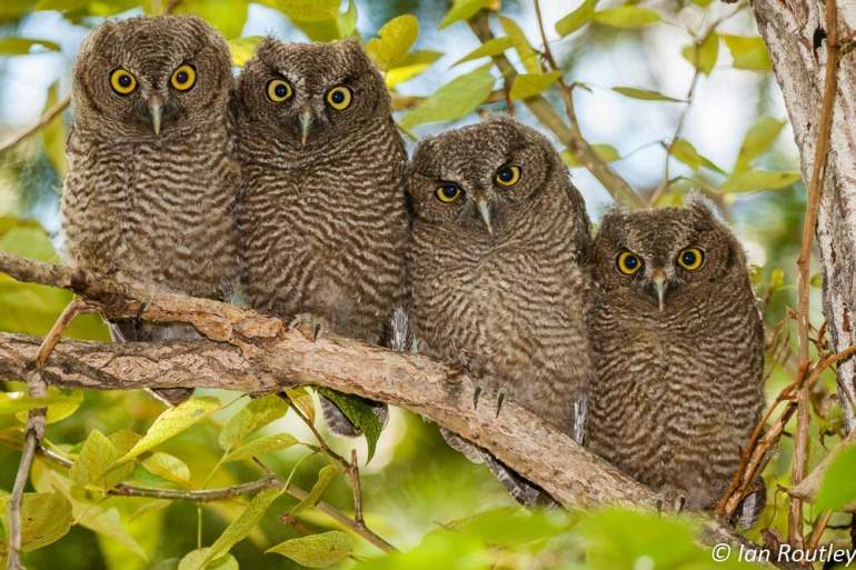 WSOW fledglings20120629Copyright Ian Routley_DSC6412