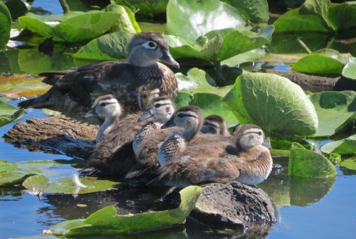 WoodDuckBrood