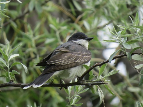 Eastern Kingbird, Kinbrook Island PP