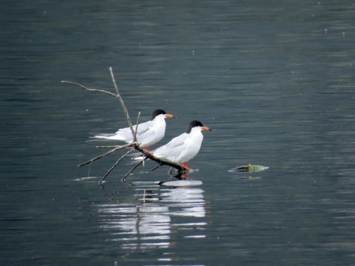 Forster's Terns, Duck Lake