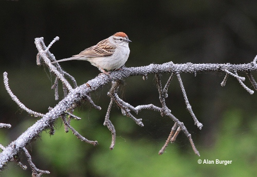 Alan Burger 2882 Chipping Sparrow