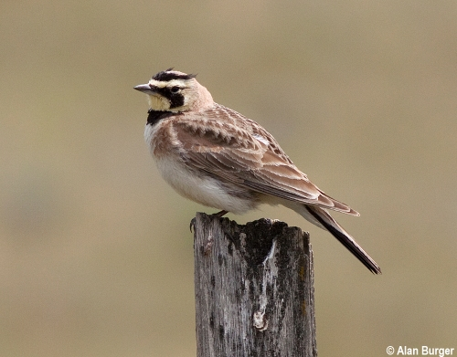 Alan Burger 9208 Horned Lark