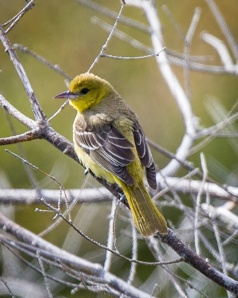 Orchard Oriole-3
