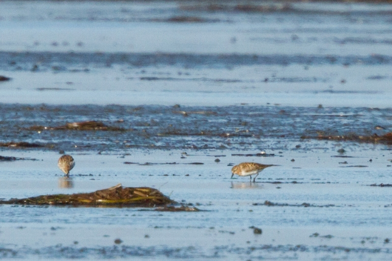 Red-necked Stint_Povalyaev