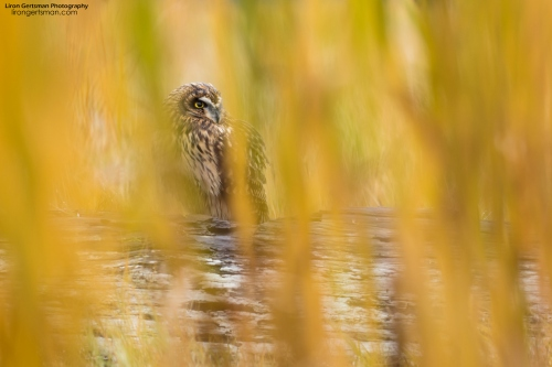 11 - Concealed_Short-eared Owl